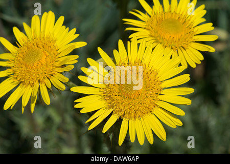 Spiny berg thistle (Berkheya multijuga) close-up of flowers tender rosette-forming perennial native to Africa - Stock Image
