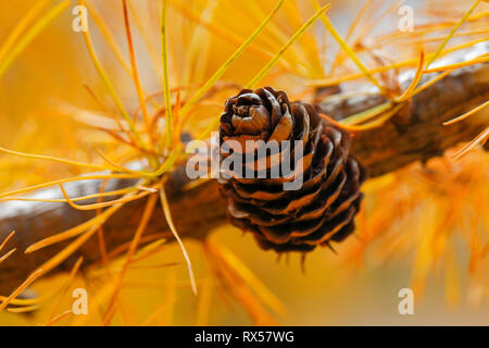 botany, close up view of a larch cone in the autumn, Switzerland, Additional-Rights-Clearance-Info-Not-Available - Stock Image