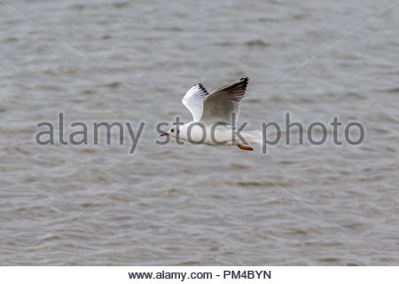 An adult black-headed gull in winter plumage in flight in Keyhaven Marshes, Hampshire, UK - Stock Image