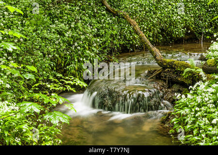 Narrow stream and little waterfall running through the Fforest Ganol forest area near Tongwynlais, Cardiff - Stock Image