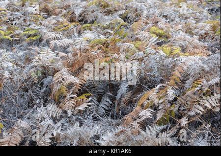 Bracken growing  within the caldera of the Sierra Negra Volcano. Isabela, Galapagos, Ecuador - Stock Image