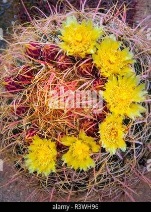 USA, Arizona, Buckeye. Blooming barrel cactus. Credit as: Wendy Kaveney / Jaynes Gallery / DanitaDelimont.com - Stock Image