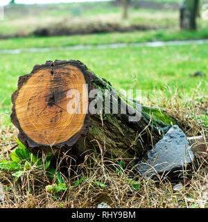 Tree stump with recent saw cut resulting from the trees removal from the park following a severe storm. - Stock Image