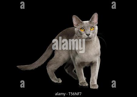 Gray Cat Burmese walk of full length on isolated black background, side view - Stock Image