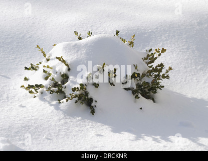 snow covered boxwood plant shrub - Stock Image