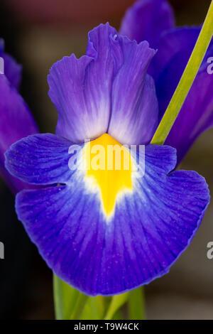 Blue violet Iris Iridaceae flower petal close up on grey background in portrait format - Stock Image