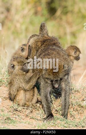 Kenya, Masai-Mara Game Reserve, Olive baboon (Papio hamadryas anubis), grooming - Stock Image