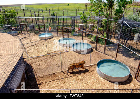 A tiger paces along a fence in a pen as a volunteer fills tanks with water at the Wild Animal Sanctuary in Keenesburg - Stock Image