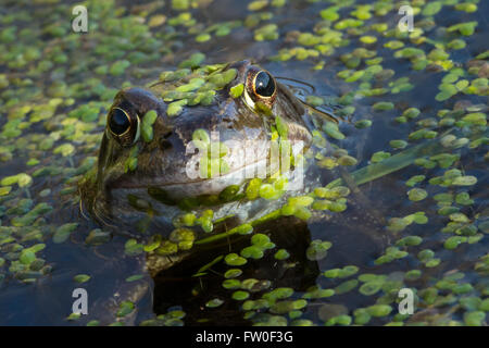 Common Frog (Rana temporaria) in Spring - Stock Image