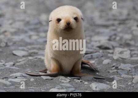 Leucistic Antarctic fur seal, Fortuna Bay, South Georgia, Antarctica. - Stock Image