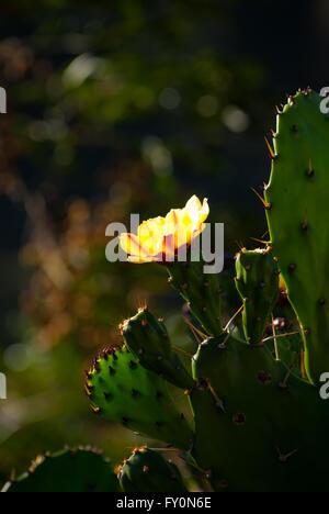 Backlit yellow cactus flower in Bhutan - Stock Image