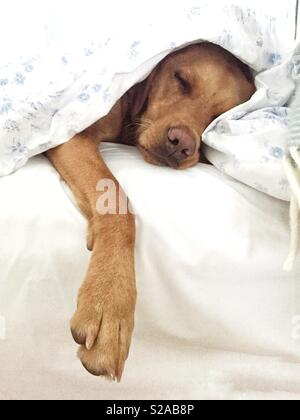 A sleeping Labrador retriever dog in a bed covered with white sheets and duvet looking very comfortable and tired - Stock Image
