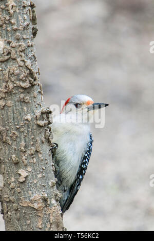 Red-bellied woodpecker perched on a tree. - Stock Image