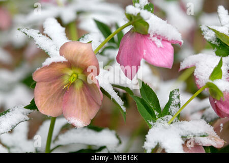 Helleborus - Lanten rose covered with snow - Stock Image