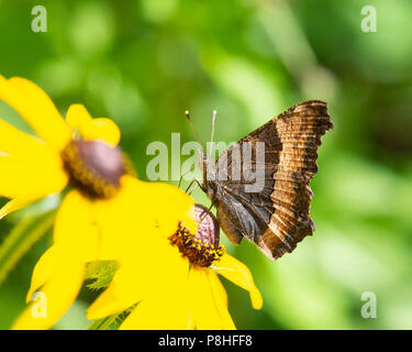 A Milbert's tortoiseshell butterfly, Aglais milberti, feeding on a yellow cone flower in a garden in the Adirondack Mountains, NY USA. - Stock Image