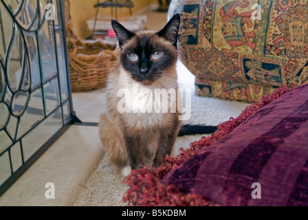 Traditional Male 'Old Style' Snow Shoe Siamese cat blue eyes  one of the first distinct breed of breed of - Stock Image