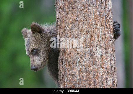European brown bear Ursus arctos cub climbing tree in taiga forest Finland - Stock Image