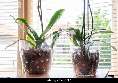 Two Phalaenopsis Orchid in transparent flower pot with substrate and green leaves at home and windows in background. Botanical and house flowers - Stock Image