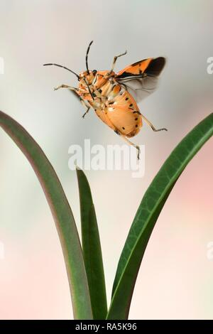 Eurydema ornata (Eurydema ornata), in flight, on caper spurge (Euphorbia lathyris), Germany - Stock Image