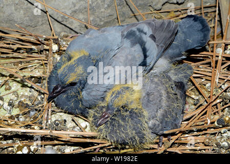 Baby pigeons in nest on Indian balcony - Stock Image