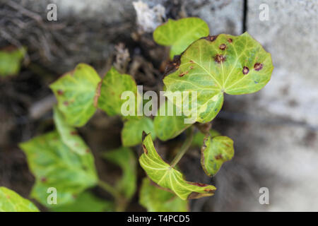 Beautiful bright green leafy plant photographed during a sunny spring day in Nyon, Switzerland. In this photo you can see multiple leaves. - Stock Image