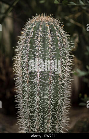 Green Cactus Filled with Thorns - Stock Image