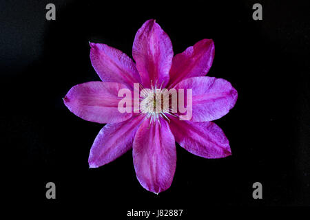 Solemn and formal dignity suggested an eight petal viloet coloured bloom on a climbing plant - Stock Image