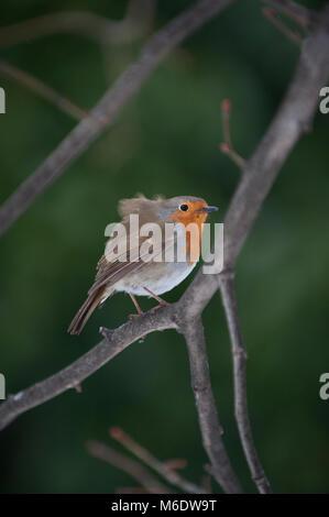 European Robin or Eurasian Robin, (Erithacus rubecula), Regents Park, London, United Kingdom - Stock Image