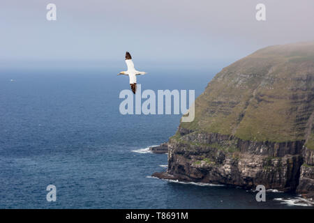 CAPE ST MARY'S ECOLOGICAL RESERVE, SAINT BRIDE'S, NEWFOUNDLAND, CANADA - August 14, 2018: Northern gannets at Cape St Mary's Ecological Reserve. - Stock Image