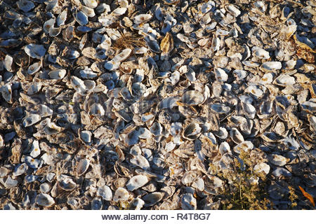 Discarded oyster shells at Whitstable in Kent - Stock Image