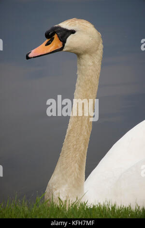 Swan photographed in summer, Sussex, England, UK. - Stock Image