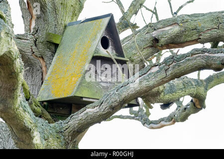 Lichen covered Barn Owl nest box housed in a dead oak tree. Hazlewood Marshes, Suffolk, England, UK - Stock Image