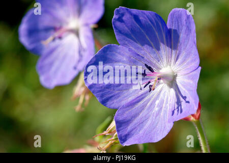 Meadow Cranes-bill (geranium pratense), close up of a single flower with another in the background. - Stock Image