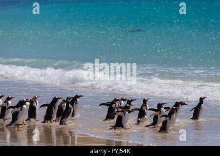 Gentoo and Magellanic penguins, New Island, Falkland Islands. - Stock Image