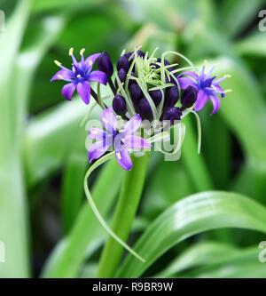 A Scilla peruviana flower - Stock Image