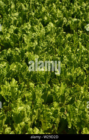 detail shot of growing sugar beet or Beta vulgaris plants in a large field at summer in bavaria, root of scarcity field with big green healthy leaves - Stock Image