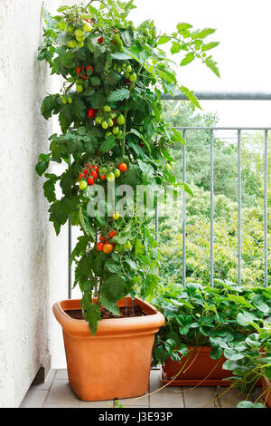 Tomato plant with green and red tomatoes in a pot and strawberry plants with offshoots on a balcony, urban gardening, - Stock Image