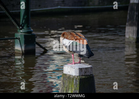 Egyptian goose (Alopochen aegyptiaca) standing on a wooden post in the centre of a canal in Amsterdam, Netherlands - Stock Image