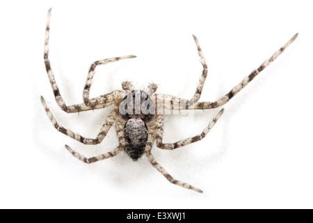 Lichen Running-spider (Philodromus margaritatus ), part of the family Philodromidae - Running crab spiders. - Stock Image
