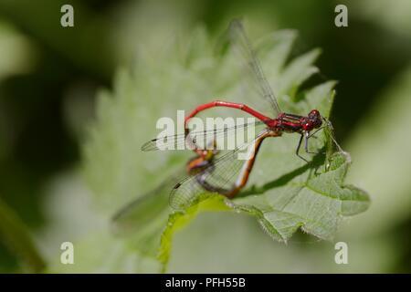 Pyrrhosoma nymphula, Large Red Damselflies mating in copulation wheel position, Wales, UK. - Stock Image