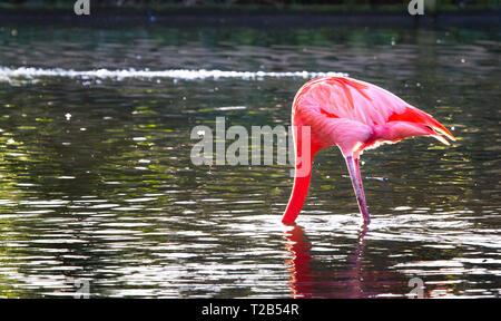 A Caribbean flamingo (also called American flamingo, Phoenicopterus ruber) sticks its head underwater. - Stock Image