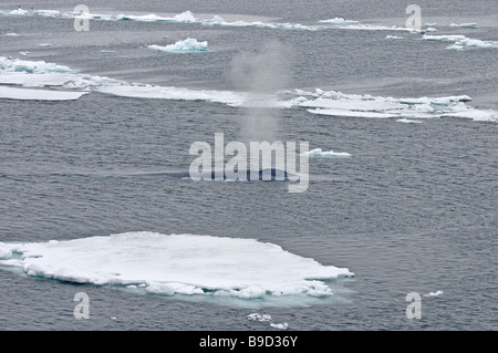 Blue whale Balaenoptera musculus blowing among arctic pack ice. Spitsbergen, Svalbard. - Stock Image