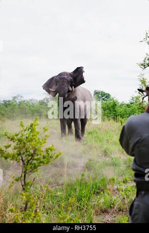 Elephant, man on foreground - Stock Image