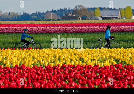 Cyclists riding through the tulip fields in the Skagit Valley, Washington State, USA.  Skagit Valley Tulip Festival. - Stock Image