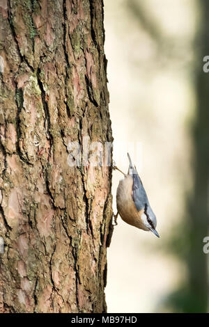 A Nuthatch, Sitta Euopaea, moving down a pine tree suing its strong legs to maneuver in a downwards direction.Taken in a forest in England, Uk - Stock Image