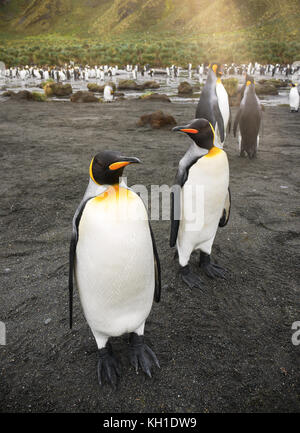 Vertical close-up of two adult king penguins (aptenodytes patagonicus) standing on black sand beach in front of - Stock Image