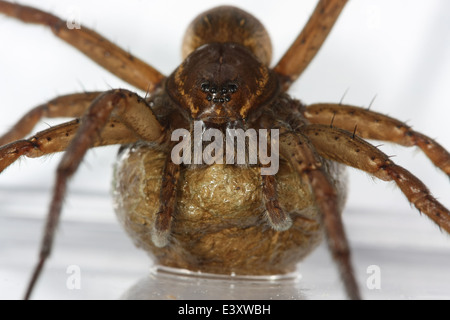 Female Fen Raft spider (Dolomedes plantarius) carrying its egg sac, part of the family Pisauridae - Nursery web - Stock Image