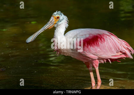 Roseate spoonbill (Platalea ajaja / Ajaia ajaja) foraging in pond, native to South America, the Caribbean, Central America and Mexico - Stock Image