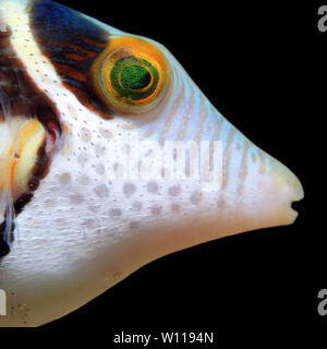 Close-up of a Black-saddled Toby (Canthigaster Valentini, aka Valentinnis Sharpnose Pufferfish, Valentinnis Sharpnose Puffer, Valentine Pufferfish, Va - Stock Image