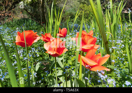 Red Tulips in a garden in Spring (April) in West Sussex, England, UK. - Stock Image